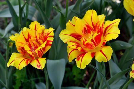 pedicel: Red and yellow Tulip closeup