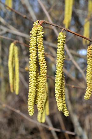 corylus: Spring. Catkins of hazel (lat. Corylus) closeup Stock Photo