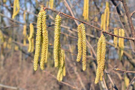 corylus: Spring. Catkins of hazel (lat. Corylus) close up