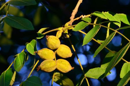 walnut tree: Fruits of a walnut tree close up