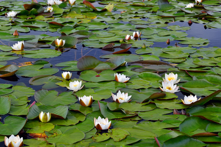 nymphaea: Thickets of water lilies (lat. Nymphaea alba)