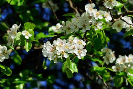 pyrus: Pyrus communis. Beautiful flowers closeup Stock Photo