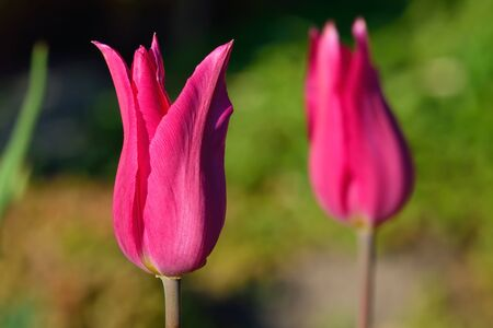 pedicel: Red Tulip closeup in the bright sun