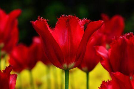 pedicel: Red terry tulip closeup in the bright sun