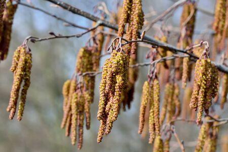 pedicel: Spring. Alder catkins (lat. Alnus) close up
