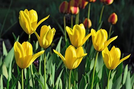 pedicel: Yellow Tulips closeup in the bright sun Stock Photo