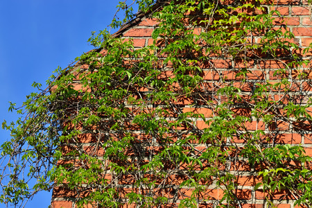 ivy wall: Ivy on the wall of the Cathedral of Koenigsberg