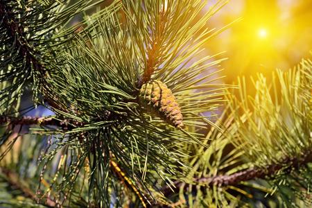 mugo: Pinus mugo backlit