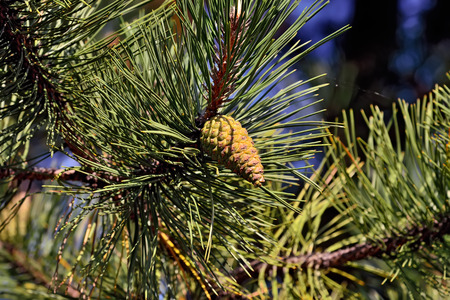 mugo: Pinus mugo. Needles and buds closeup Stock Photo
