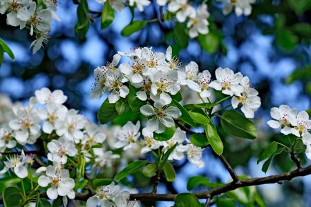communis: Pyrus communis. Beautiful flowers closeup. Spring background Stock Photo