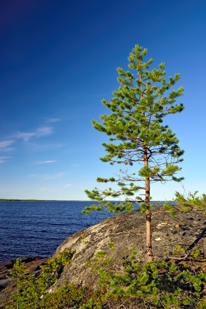 shore: Lonely pine on the rock. Shore of the White sea, North Karelia, Russia Stock Photo