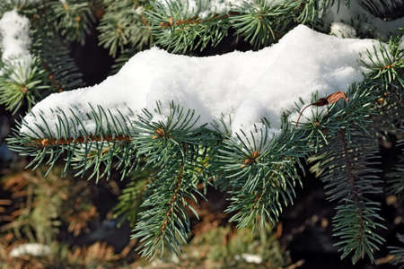 pine needles close up: Paws blue spruce (lat. Picea pungens) in the snow closeup