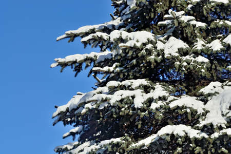 picea: Paws blue spruce (lat. Picea pungens) in the snow closeup