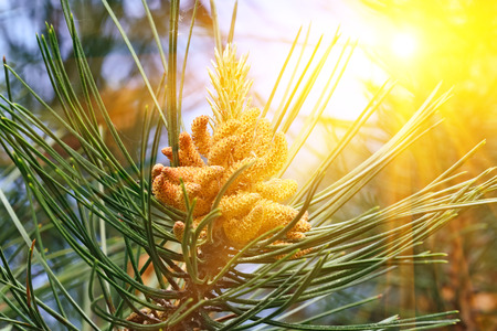 mugo: Pinus mugo backlit. Needles and buds close up Stock Photo