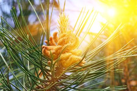 mugo: Pinus mugo backlit. Needles and buds close up Stock Photo
