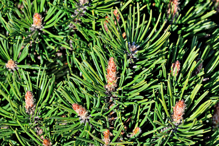 mugo: Pinus mugo. Needles and buds close up