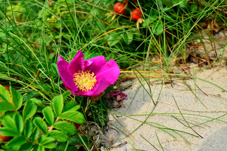 Beautiful pink flowers rose in the bright sun closeup