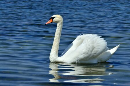 White mute swan is swimming on the Lake Stock Photo