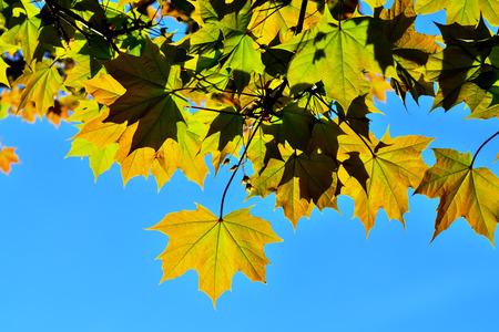 Ahornblätter hinterleuchtet gegen einen blauen Himmel