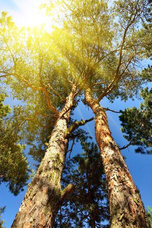 Kiefer und Sonne. Untersicht Lizenzfreie Bilder