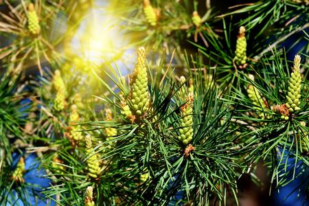 Kiefernberg Nadeln und Knospen in der Sonne Lizenzfreie Bilder