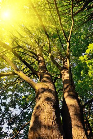 Ansicht von unten der Doppelstamm eines Ahorns, von einer hellen Sonne beleuchtet Lizenzfreie Bilder