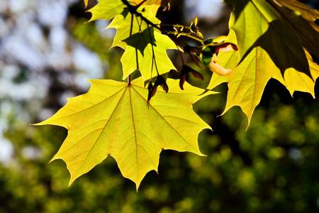 Junge Ahornblätter Nahaufnahme auf der hellen Sonne