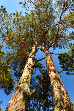 Two pine trees against the blue sky