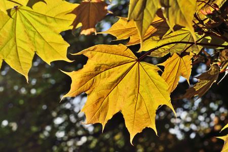 Ahornblätter im Hintergrundlicht