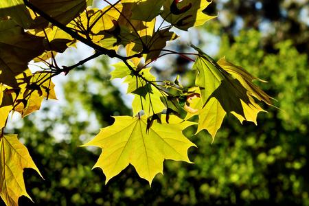 Maple leaves in back light