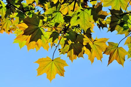 Ahornblätter Nahaufnahme auf blauem Himmel Hintergrund