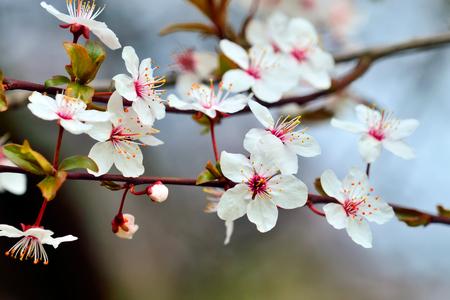 Flowers of cherry plum closeup on sky background