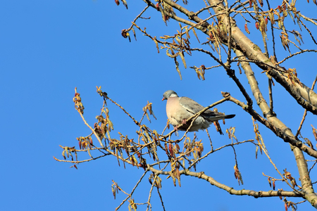 Wood pigeon sitting on a tree branch on blue sky background
