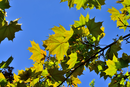 Maple leaves closeup on blue sky background, illuminated by bright sun