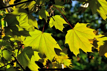 Maple leaves close up on blue sky background, illuminated by bright sun