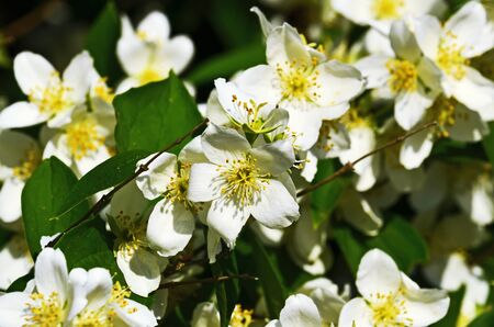 Beautiful white flowers mock orange closeup. Beautiful natural background