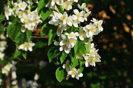 Beautiful white flowers mock orange closeup. Beautiful natural background
