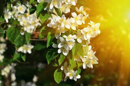 Beautiful white flowers mock orange Philadelphus closeup. Beautiful natural background