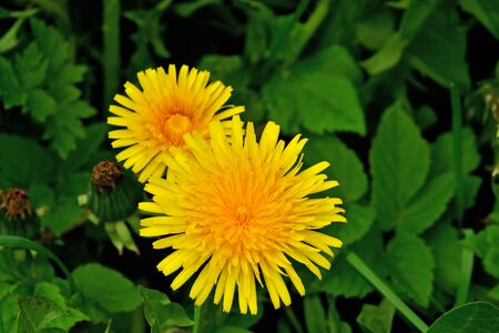 Beautiful yellow dandelion flowers closeup, natural background