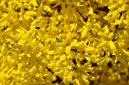 Beautiful yellow flowers of forsythia close-up in the bright sun. Beautiful natural background