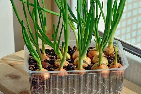 Green onions grow on the windowsill in a plastic pot Stock Photo - 145074398