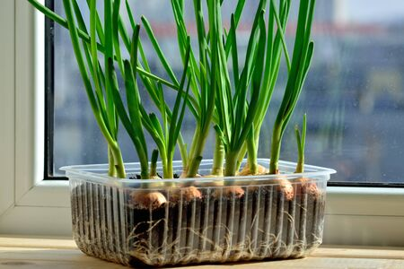 Green onions grow on the windowsill in a plastic pot Stock Photo