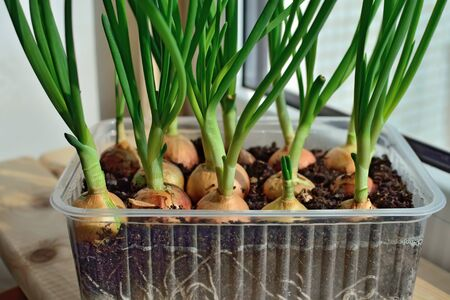 Green onions grow on the windowsill in a plastic pot Stock Photo - 145069998
