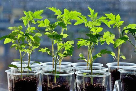 Tomato seedlings close up growing on the windowsill in a plastic pot