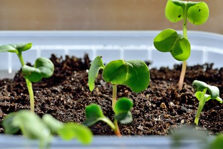 Radish seedlings close up growing on the windowsill in a plastic pot