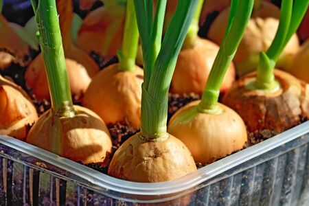 Green onions grow on the windowsill in a plastic pot Stock Photo - 145202707