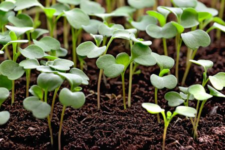 Arugula seedlings close up growing on the windowsill in a plastic box Stock Photo