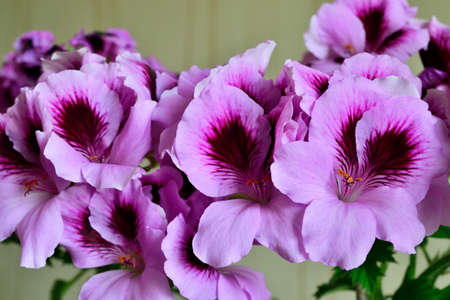 Beautifully delicate pink flowers of royal pelargonium close up Stock Photo