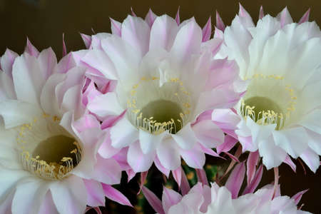 Beautiful large flowers of the Echinopsis cactus close up