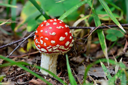 Beautiful red fly agaric in green grass close up Stock Photo